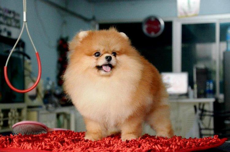 บ้าน FYPomeranian Kennel เปิดรับผสมพ่อพันปอมฯและจำหน่ายลูกสุนัข