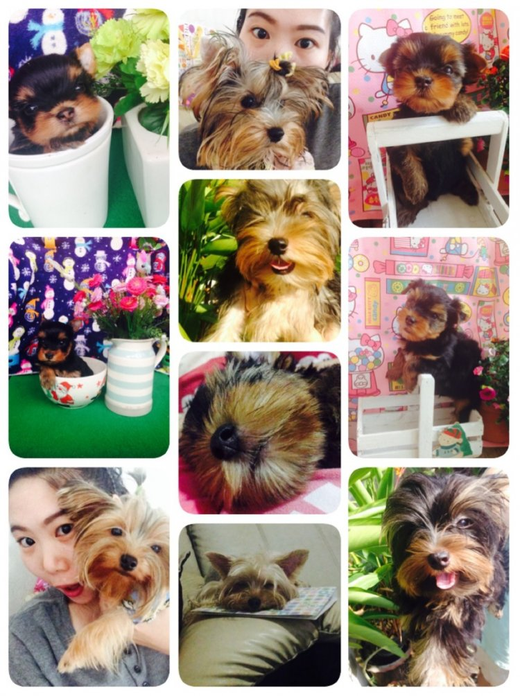 PIJIKA YORKSHIRE จำหน่ายสุนัขยอร์คเชียร์ สายเลือดแชมป์USA-ไทย ไชร์เล็ก T-cup ตุ๊ภตา Quality breeds
