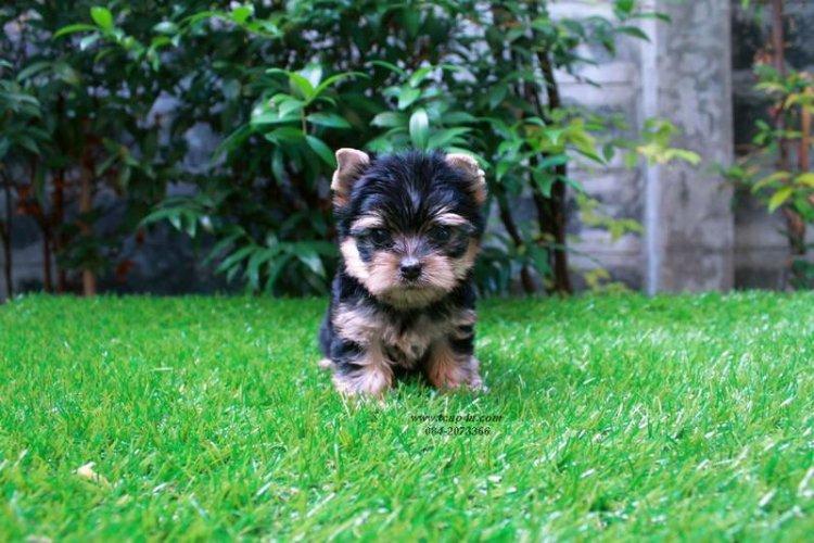 ยอร์คกี้ หน้าตุ๊กตา ไซร์จิ๋ว สายเลือดดี ( www.tcup4u.com )