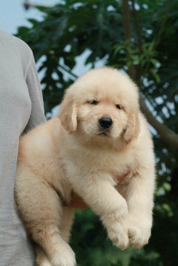 เปิดจองลูกสุนัขโกลเด้นเกรด SHOW QUARITY(พ่อพันธุ์นำเข้าจากประเทศอเมกา และเเม่พันธุ์นำเข้าจากเกาหลี)