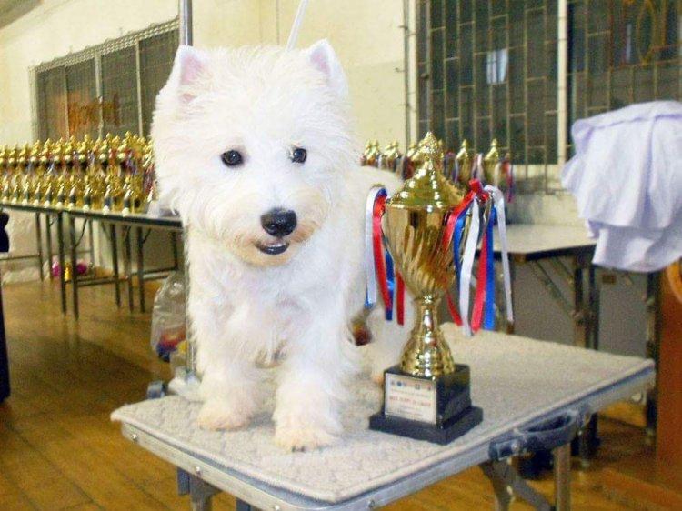 ลูกเวสตี้ พร้อมย้ายบ้าน เกิด 21 สิงหาคม 58 พ่อเป็นแชมป์ไทยแลนด์  ,Westies