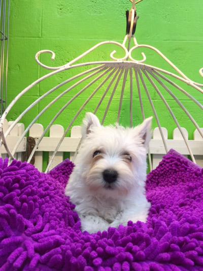 ขายลูกสุนัขเวสตี้  (N' เจนนี่)