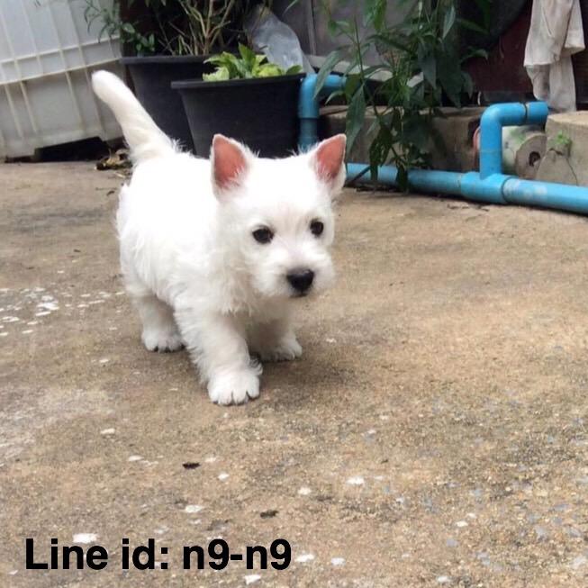 เปิดจองลูกสุนัขพันธ์ เวสตี้ ( Westie ) เกิด 18 ก.พ.59 พ่อเป็นไทยแลนด์แชมป์