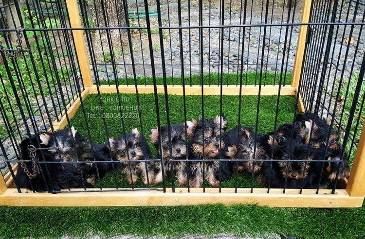 ฝากติดตามเพจ Baan Yorkie Hut Kennel จำหน่ายและเพาะพันธุ์ สุนัขพันธุ์ยอร์คเชียร์เทอร์เรีย