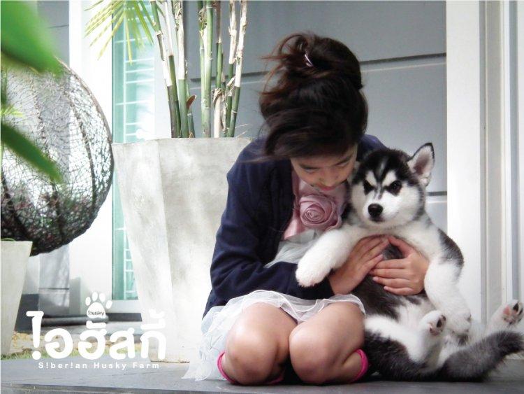 ไอฮัสกี้ ฟาร์มไซบีเรียน ฮัสกี้ จากพ่อพันธุ์แม่พันธุ์ชั้นเยี่ยม สู่ลูกสุนัขเกรดคุณภาพ