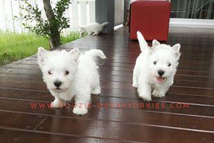 """ขายลูกเวสตี้ """"West Highland White Terrier"""" เพศเมีย 3 สายแชมป์ประกวด ขนแน่น พร้อมใบเพ็ด"""