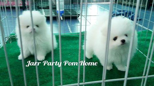 แนวหน้า พ่อพันธุ์ ประจำคอก White pom home  (ไม่ได้เปิดรับผสมนะค่ะ)