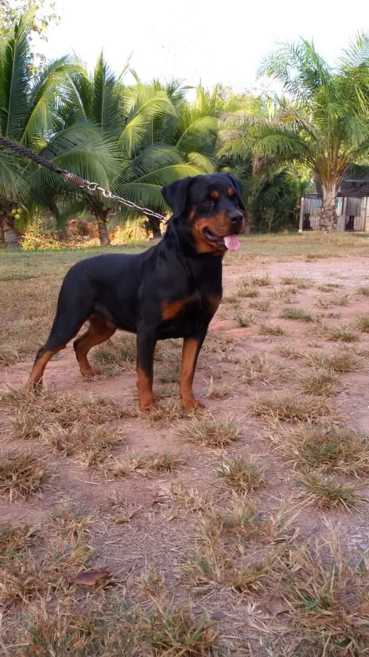 ขายลูก Rottweilera ผู้1เมีย2ตัว คับใบเพดเต็มใบ สนใจติดต่อเลยคับ