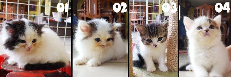 ขายลูกแมว Scottish fold 4ตัวค่ะ