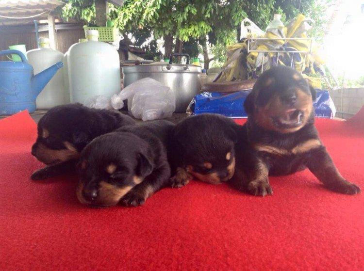 ขายลูกสุนัข Rottweiler แท้ 100%