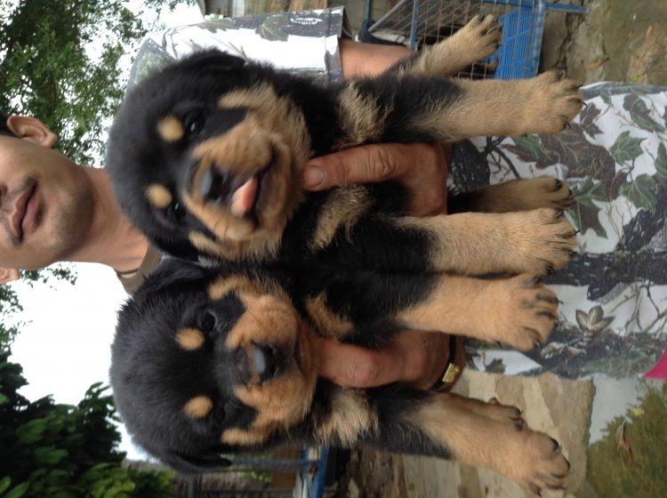 ขายลูกสุนัขร๊อกไวเลอร์100 % สุขภาพแข็งแรง โครงสร้างสวย ราคา8,500