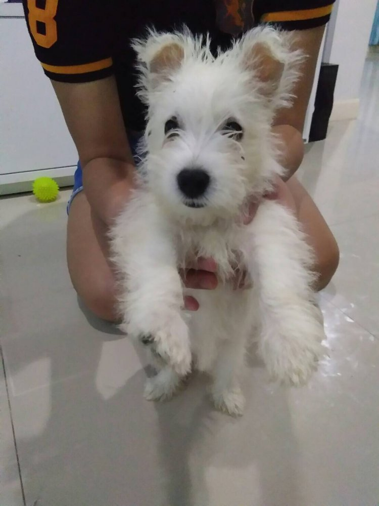 Westie Pupies -อีกสองเดือนครอกใหม่นะครับ _ แหลมฉบัง ชลบุรี Chonburi