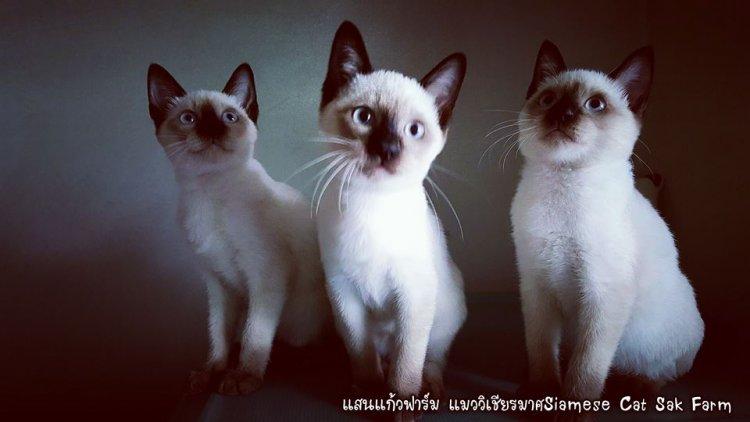 (เปิดจองลูกแมววิเชียรมาศ) แมวมงคลไทยโบราณสายพันธุ์แท้วิเชียรมาศ หรือ Siamese Cat (จดทะเบียนพาณิชย์)