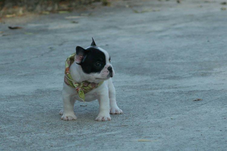 ขายลูกสุนัขพันธุ์เฟรนช์ บลูด๊อก
