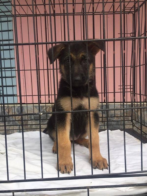 ขายลูกสุนัขเยอรมันเชพเพิร์ดสวยๆ โครงสร้างใหญ่ๆ (ขายแล้วครับ)