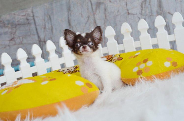 -www.wowwchihuahua.com- ชิวาวาเพศผู้ ขนยาว สีขาวชอคโกแลต หน้าสวย 13500