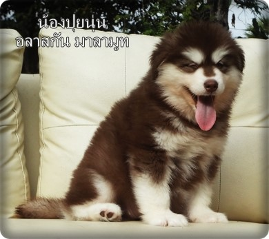 Female Alaskan Malamuth Puppies For Sale.