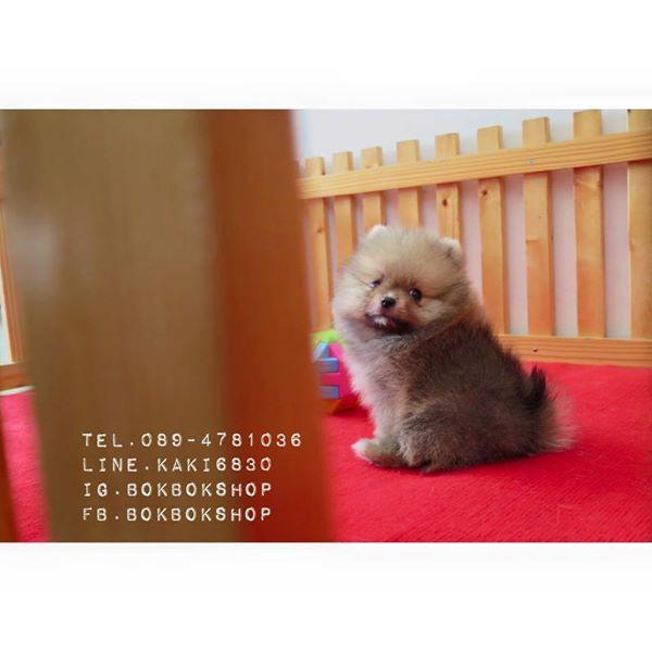 ปอมเมอเรเนียนหน้าหมีไซส์เล็ก