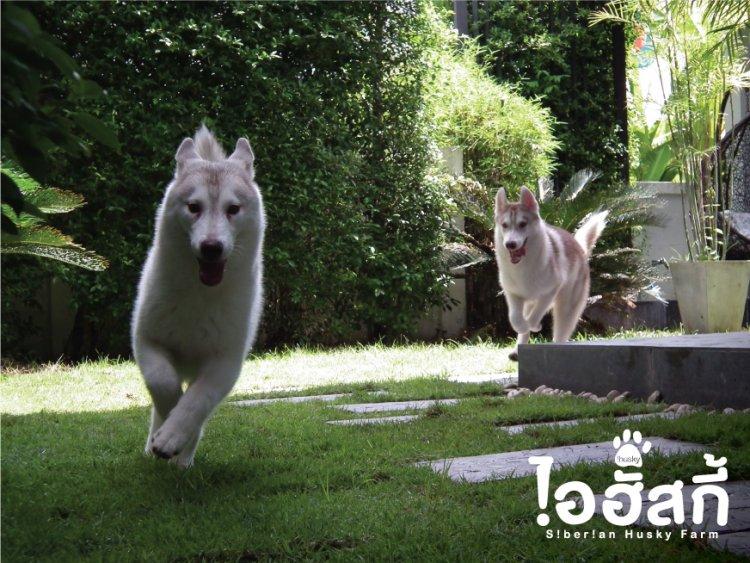 บริการรับฝากสุนัขไซบีเรียน ท่ามกลางบรรยากาศธรรมชาติ
