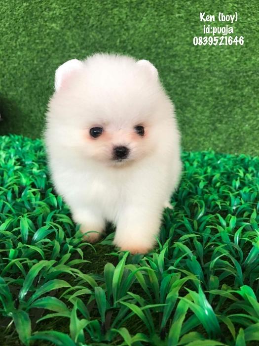 ปอมเมอเรเนี่ยนสีขาวสำลีเกรดท็อป หน้าหมี bearface pom for sale