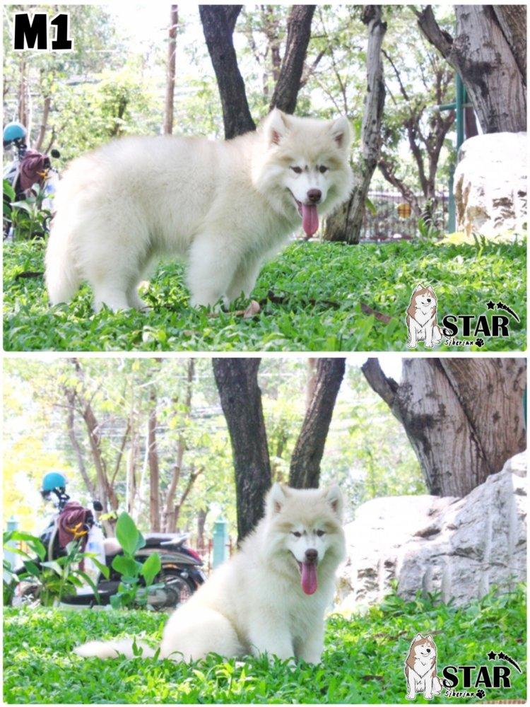 เปิดจองไซบีเรียนวูดลี่โค้ด ขนยาว หน้าหมี ขนบึ้มๆรับประกันคุณภาพ