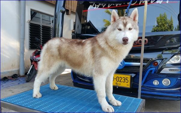 ขายSiberian Husky ลูกไทยแลนด์แชมป์