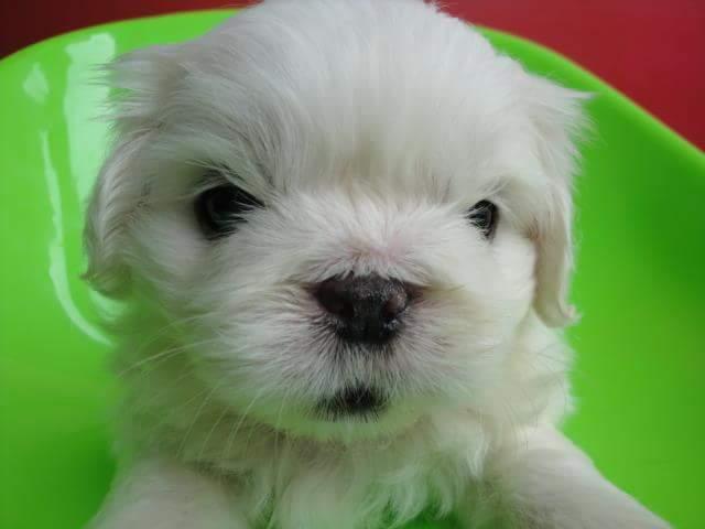 เปิดจองลูกสุนัขปักกิ่งสวยๆสีขาว