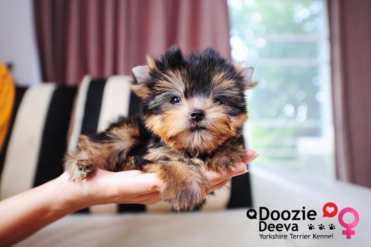 Premium Yorkies....ขายลูกยอร์คเชียร์เกรดพรีเมี่ยม และมีลูกสุนัขให้ท่านเลือกมากที่สุดในประเทศไทย