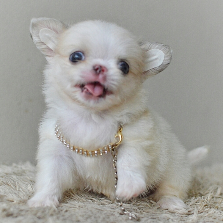 LITTLE DOG'S FARM : ชิวาวาขนยาว ตัวเล็กๆ สีขาว หน้าสั้นสวยมากจ้า