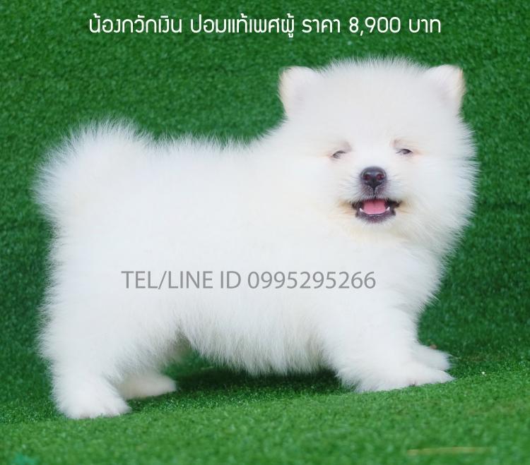 Pomeranianแท้สีขาวล้วนหน้าหมีตัวเล็กขนแน่นเกรดสวยประกันสุขภาพมีบริการส่งทั่วไทย