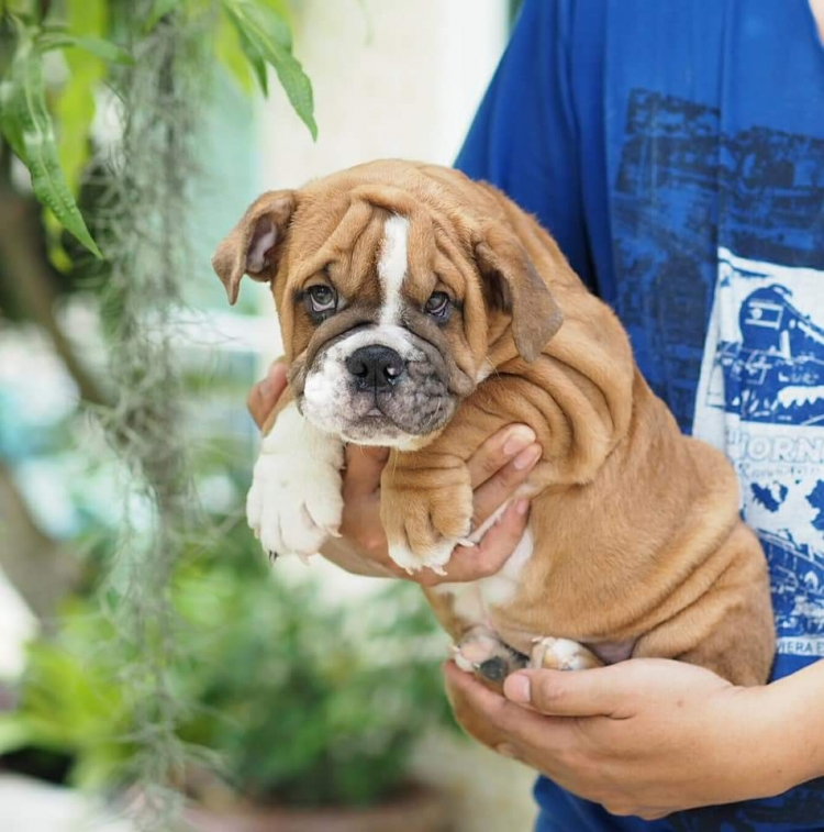 ขายลูกสุนัขบูลด็อกบูลด็อกน่ารักๆ ราคาไม่แพง สนใจติดต่อ 085-2213456