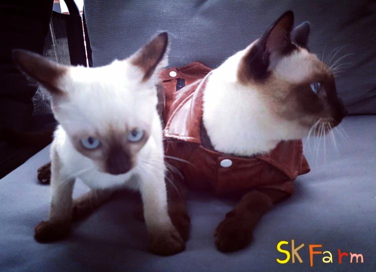 (เปิดจองลูกแมววิเชียรมาศ) แมวมงคลไทยโบราณสายพันธุ์ไทยวิเชียรมาศ แมวสยาม Siamese Cat (จดทะเบียนพาณิชย