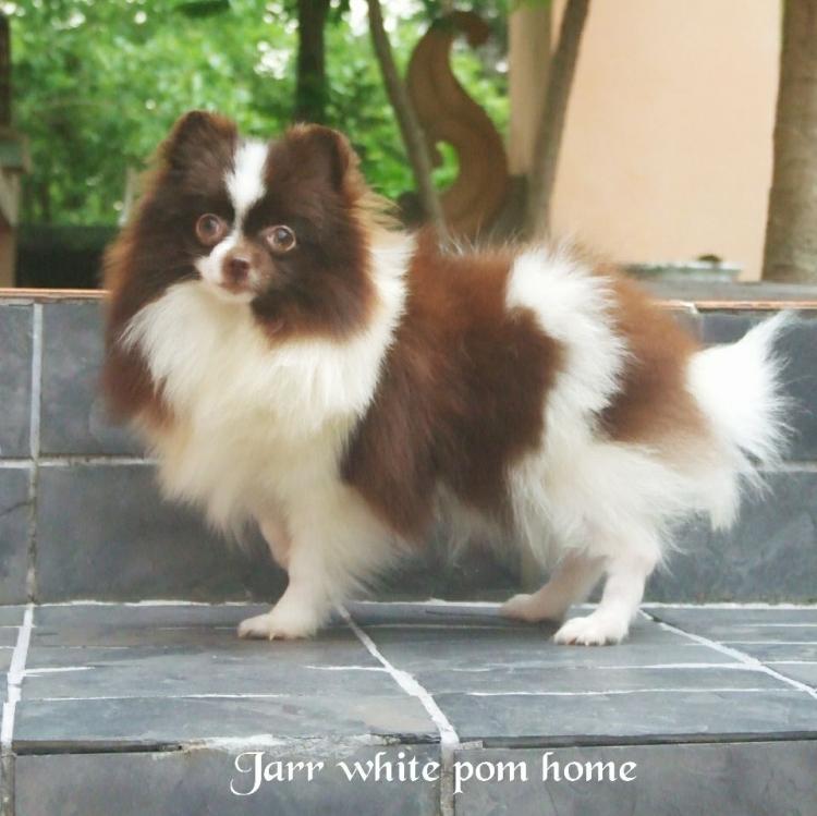 ปอมขาว ปอมแฟนซี ปอมช๊อคโกแล็ต Jarr Party pom home ปอมขาวนำเข้า
