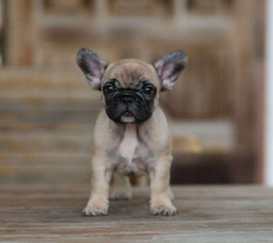 ลูกสุนัข French bulldog เพศผู้ แท้ 100% (ไม่มีใบเพ็ดดิกรี)