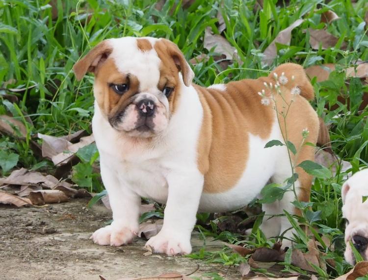 ฺPuppy Bulldog