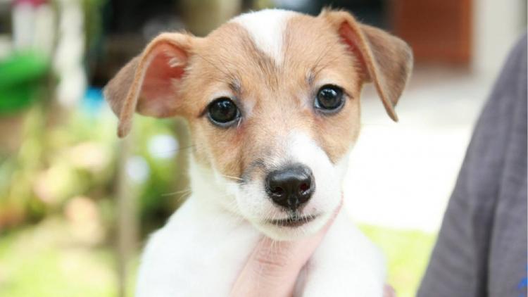 ขายลูกสุนัขแจ็ครัสเซลเทอเรียเพศเมีย