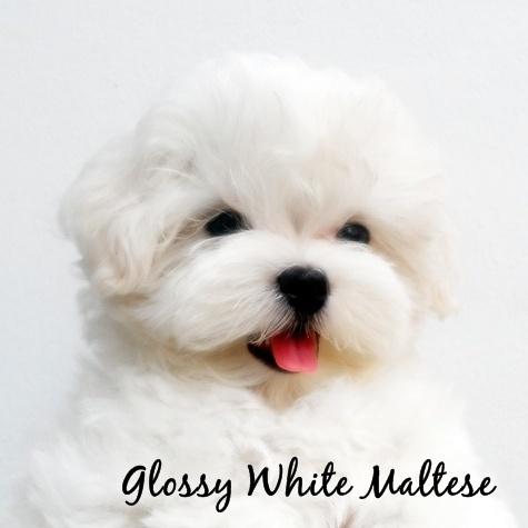 Glossy White Maltese จำหน่ายลูกสุนัขมอลทีส ลูกThailandChampionสายเลือดแชมป์จากเกาหลี Tel.087-5075969