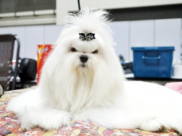 Glossy White Maltese เปิดรับผสมพ่อพันธุ์มอลทีส เกรดประกวด และเกรดเลี้ยงเล่น สายเลือดแชมป์จากเกาหลี