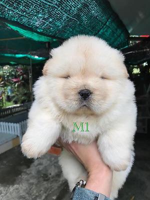 ลูกสุนัข เชาเชา สีครีม 30 วัน