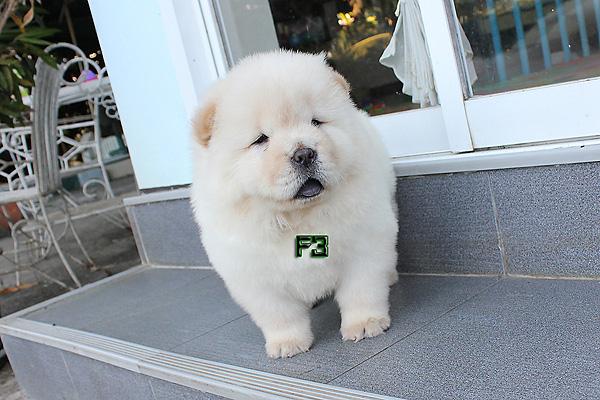 ลูกสุนัข เชาเชา เพศเมีย สีครีม 45 วัน