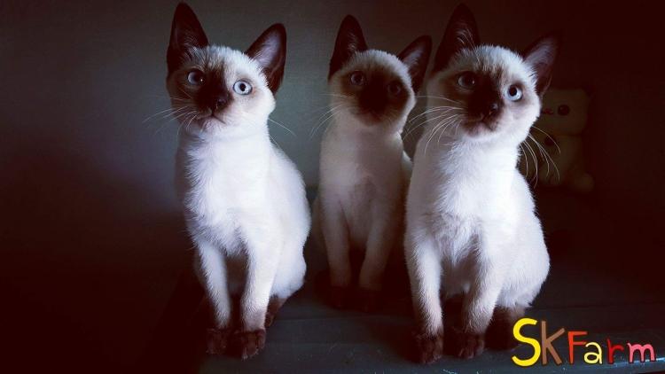 ลูกแมววิเชียรมาศแมวมงคลไทยโบราณสายพันธุ์ไทยวิเชียรมาศ Siamese (จดทะเบียนพานิชย์)