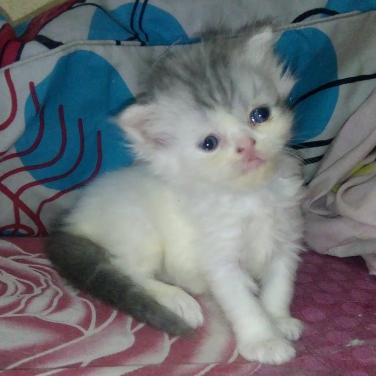 เปิดจองลูกแมวเปอร์เซียแท้น่ารักปลอดโรคสีแวนเพศเมียไม่มีเชื้อราแข็งแรง รับได้วันที่8 เมษา 61