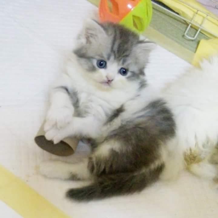 เปิดจองลูกแมวเปอร์เซียแท้น่ารักสีเทาขาวลายวัว เพศ ผู้ รับได้  8เมษา 61