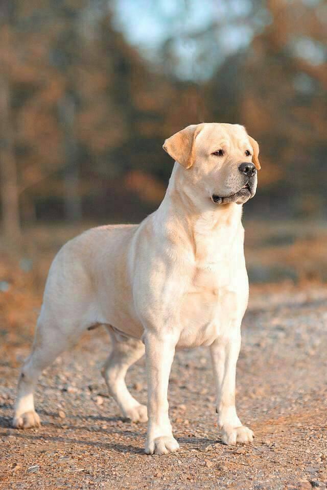 ลูกสุนัขลาบราดอร์ สีเหลือง เพศชาย ลูกมาร์คกี้กับสตาร์ คลอด 14 ก.พ.61.