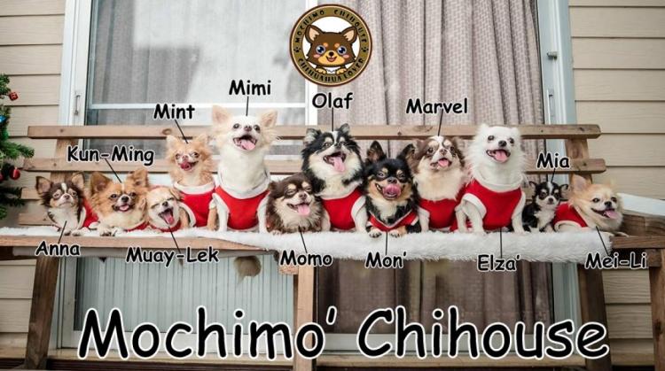 Mochimo' Chihouse : ด.ช.Po ชิวาวาขนยาว สีขาวน้ำตาลแฟนซี น่ารัก มุ้งมิ้ง