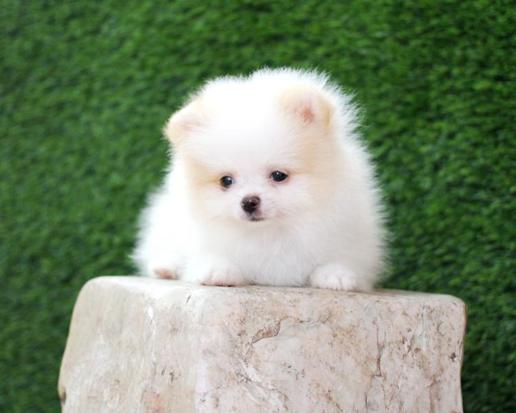 ปอมหน้าหมี เพศผู้ สีขาว ตัวเล็ก น่ารัก ขาใหญ่ สายเลือดดี สอบถามเพิ่มเติมได้ที่ Line : @heropom