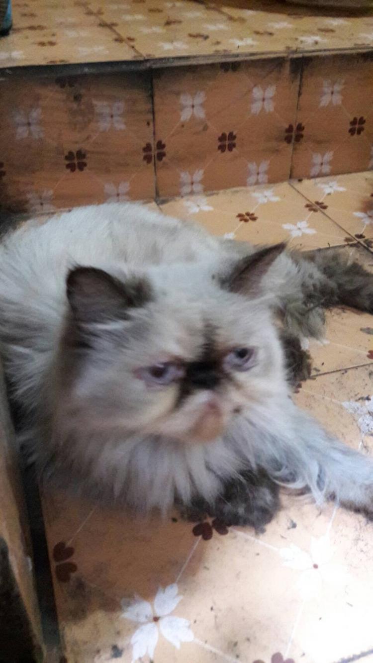 ขายเหมาแม่พันธุ์แมวหิมาลายันเปอร์เซียหน้าบี้