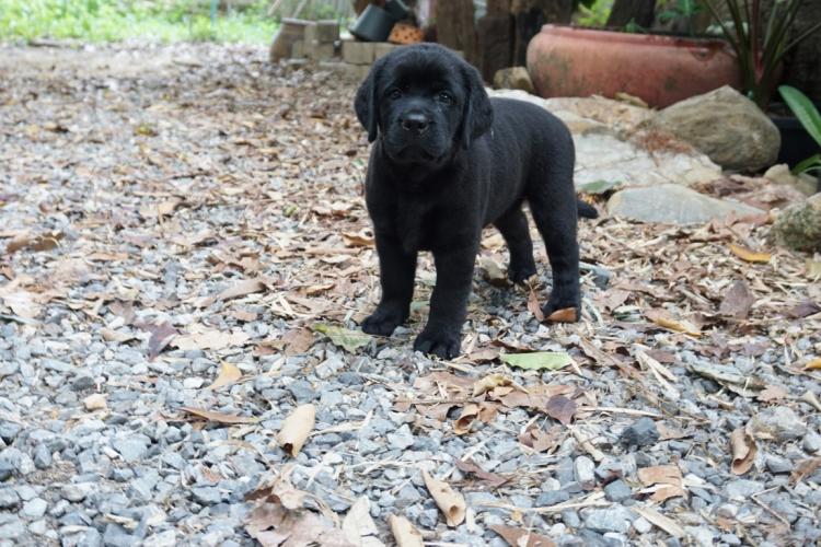 ลูก มาร์คกี้ กับ สตาร์ คลอด 14 ก.พ.61. ลูกสุนัขลาบราดอร์ สีดำ เพศหญิง