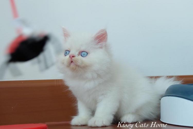 ลูกแมว Exotic ลองแฮร์ สีขาว ตาสีฟ้า เพศชาย