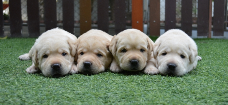 ลาบราดอร์สุนัขเกรดประกวดสวยทุกตัว รับประกันโครงสร้างใหญ่ ได้มาตรฐานสายพันธุ์ที่ดีพร้อมรับประกันโรคข้